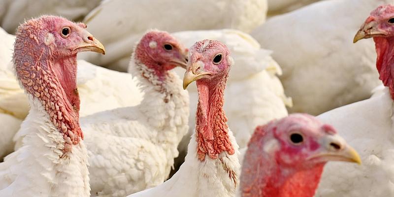Geflügelpest in Niedersachsen: Ministerin Otte-Kinast stellt Krisenfall fest