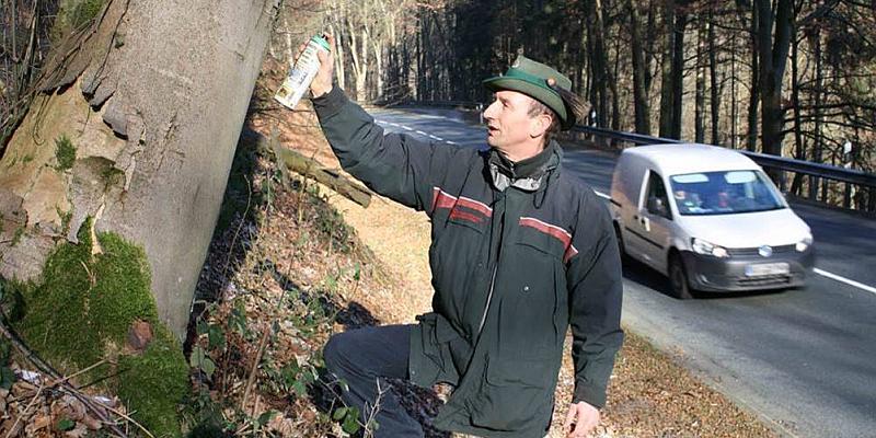 Landesforsten entfernen kranke Bäume entlang der Bundesstraße 241: Forstarbeiten beeinträchtigen Verkehr zwischen Schönhagen und Amelith