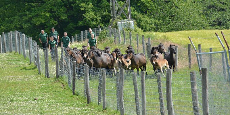 Das große Ponysortieren im Hutewald Solling der Niedersächsischen Landesforsten