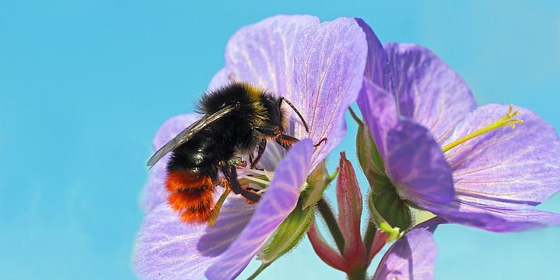 Hohe Mitmachzahlen beim Insektensommer / Steinhummel auf Platz eins
