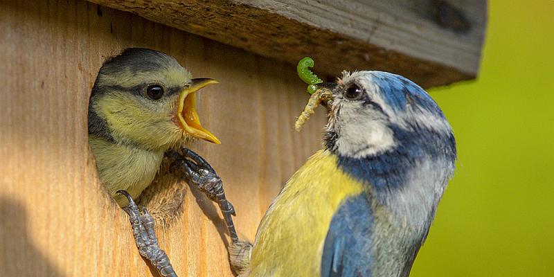 NABU: Rekordbeteiligung bei der Stunde der Gartenvögel