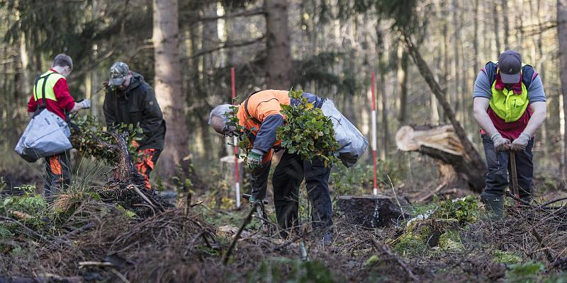 Der neue Wald kommt auf dem LKW: Landesforsten pflanzen mit Hochdruck geschädigte Waldgebiet auf