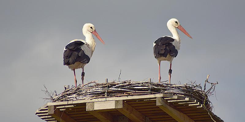 Boffzen: Zweites Storchenpaar heute Morgen angekommen!