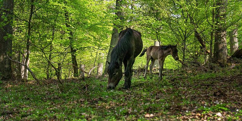 Wilde Rinder und halbzahme Ponys beweiden einzigartige Waldlandschaft - Försterexkursion in die neue Hutelandschaft am 27. Oktober