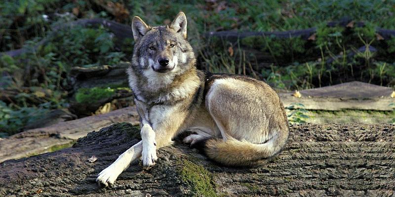 Der Wolf und seine Beute - Führung im Wildpark Neuhaus stellt Fleisch- und Pflanzenfresser vor
